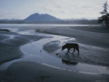 One of Vargas Islands Habituated Wolves Scavenges a Tidal Flat Photographic Print by Joel Sartore