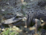 Close-up of an American Alligator Resting on the Ground Photographic Print by Lowell Georgia