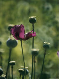 Opium Poppies Grow in the Barranca Tierra Verde Photographic Print by Maria Stenzel