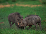 Warthogs Fighting Photographic Print by Beverly Joubert