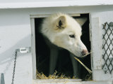 A Close View of a Husky in a Kennel Photographic Print by Dugald Bremner Studio