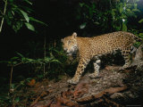 A Young Male Jaguar, Later Killed Illegally by Ranchers Photographic Print by Steve Winter