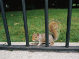 A Gray Squirrel Keeps Alert from its Secure Spot on the Other Side of an Iron Fence Photographic Print by Brian Gordon Green