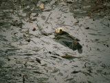 Sea Otter in a Kelp Bed Photographic Print by Walter Meayers Edwards