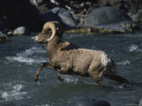 An American Bighorn Sheep Fords a Clear, Shallow Stream Photographic Print by Michael S. Quinton