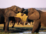 African Elephants with Trunks Entwined Photographic Print by Beverly Joubert