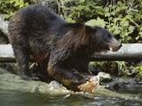 An Alaskan Brown Bear Feeds on a Fish Lámina fotográfica por W.E. Garrett