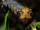 Close-up of a Moth Caterpillar(Xylophanes Falco) with False Eyes Photographic Print