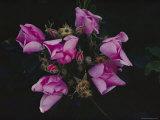 Wild Praire Rose Giclee Print
