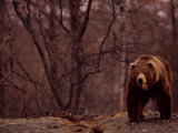 A Grizzly Bear Photographic Print by Joel Sartore