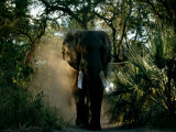 African Elephant in a Forest Setting Fotodruck von Beverly Joubert