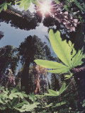 Lupine and Giant Sequoias Seen Through a Fish-Eye Lens Photographic Print