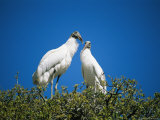 A Pair of Storks on a Treetop Nest Photographic Print by Stephen St. John