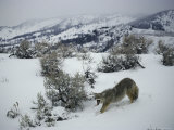 In a Snowy Landscape, a Coyote Yawns and Stretches Photographic Print