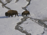 A Buffalo Cow and Her Calf Cross a Stream in Snowy Yellowstone Photographic Print by Raymond Gehman