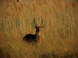 Common Waterbuck Standing in the Tall Grass Photographic Print by Beverly Joubert