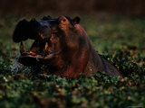 Hippopotamus (Hippopotamus Sp.), Zambezi River, Zambia Photographic Print by Chris Johns