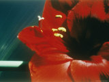 A Close-up of a Red Flower Photographic Print by Sisse Brimberg