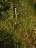 A Close View of a Sandhill Crane Standing in Tall Grasses Photographic Print by Raymond Gehman