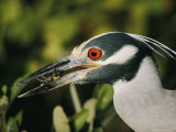 Yellow-Crowned Night Heron with a Crab in its Beak Photographic Print by Roy Toft