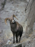 An American Bighorn Ram Peers from Behind a Precipice Photographic Print by Michael S. Quinton