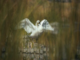 A Trumpeter Swan Stands on a Rock Flexing His Wings Photographic Print