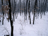 A Siberian Tiger (Panthera Tigris Altaica) in Snowy Woods Photographic Print by Michael Nichols