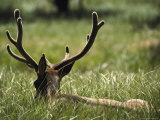 A Bull Elk, or Wapiti, its Antlers in Velvet, Lying in a Grassy Field Photographic Print by Raymond Gehman