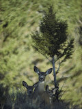 A Mule Deer Doe is Flanked by Her Twin Fawns Photographic Print
