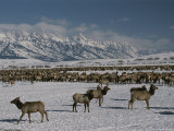 Elk or Wapiti at the National Elk Refuge Jackson, Wyoming Photographic Print by Raymond Gehman