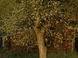 A Flowering Tree Standing Near a Barn Photographic Print by Roy Gumpel