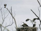 Ospreys on Their Nest Photographie