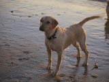 A Dog Waits for a Ball to Be Thrown into the Ocean Photographic Print by Stacy Gold
