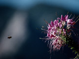 A Bee Closes in on a Large Cleome Flower, Also Called Spider Flower Photographic Print