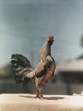 View of a Chicken Photographic Print by J. Baylor Roberts