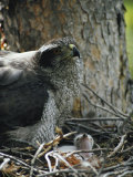 A Northern Goshawk and a Tiny Chick in a Tree-Crotch Nest Photographic Print by Michael S. Quinton