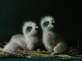 Two Southern American Bald Eaglets Awaiting Food Photographic Print by Joel Sartore