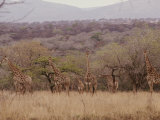 A Group of Reticulated Giraffes in the Savanna Photographic Print by Nicole Duplaix