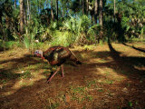 A Wild Turkey at Florida Panther National Wildlife Refuge Photographic Print by Joel Sartore