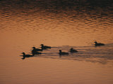 A Group of Common Loons Swims Across a Lake Early in the Morning Photographic Print