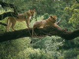 Two African Lions are Resting on a Tree Branch Photographic Print by Skip Brown