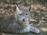 A Portrait of a Captive European Lynx Fotografisk tryk af Nicole Duplaix