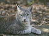 A Portrait of a Captive European Lynx Photographic Print by Nicole Duplaix