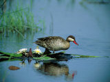A Red-Billed Teal, Also Called Red-Billed Pintail, Forages in a Pool Photographic Print by Beverly Joubert