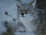 A Portrait of a Coyote in Yellowstone National Park, Wyoming Photographic Print by Raymond Gehman