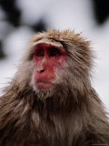 Japanese Macaque in a Hot Spring Photographic Print by Jodi Cobb