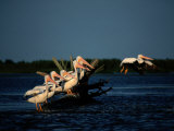 White Pelicans (Pelecanus Erythrorhynchos) Photographic Print by James P. Blair