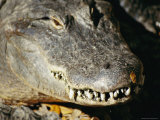 A Close View of the Overlapping Teeth and Jaws of an American Alligator Photographic Print