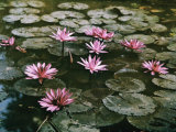 Beautiful Pink Lotus Water Lilies Bloom in a Canal in Bangkok Photographic Print