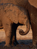 A Young Elephant Nestles up to the Mud-Covered Leg of an Adult Photographic Print by Beverly Joubert